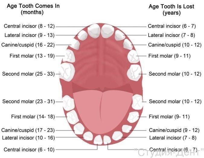 Схема прорезывания постоянных зубов у ребенка