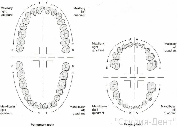Нормальное количество зубов у детей и взрослых схема